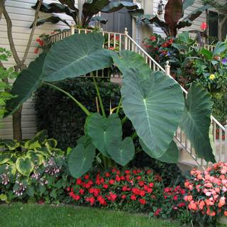 Colocasia Jacks Giant