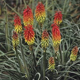 Kniphofia Fire Dance