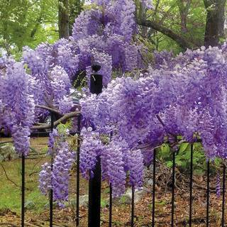 Wisteria 'Blue Moon'