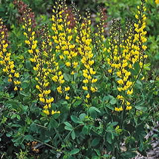 Baptisia Decadence® Lemon Meringue