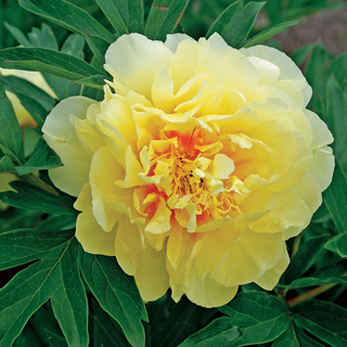 Paeonia Itoh Bartzella