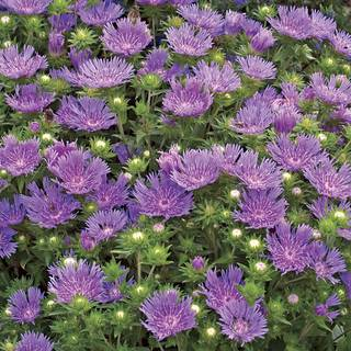 Stokesia Peachies Pick