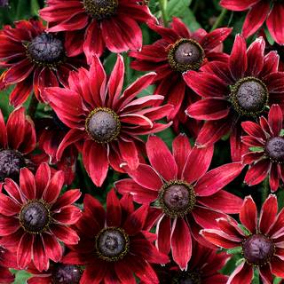 Shop All Rudbeckia (Black-Eyed Susan)