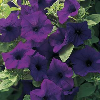 Petunia Surfinia® Wild Plum (Pack of 3)