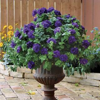 Petunia Double Wave® Blue Velvet  (pack of 3)