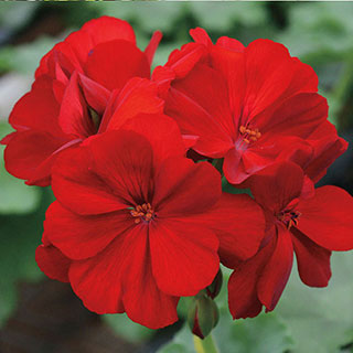 Geranium Calliope® Dark Red  (pack of 3)