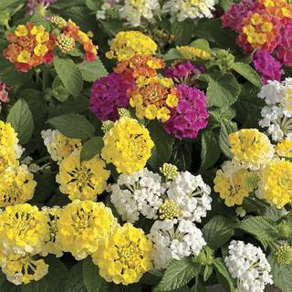 Lemon Meringue Lantana Combination