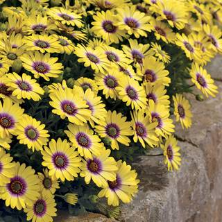 African Daisy Blue-Eyed Beauty (Pack of 3)