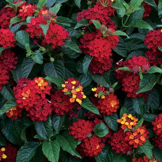 Lantana Bandito™ Red (Pack of 3)