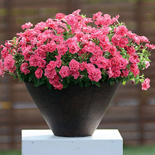 Petunia Surfina® Summer Double™ Salmon