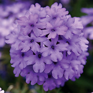 Verbena EnduraScape™ Blue (pack of 3)