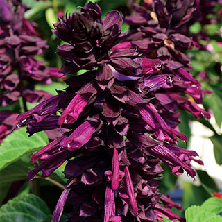 Salvia Grandstand™ Purple