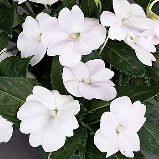 SunPatiens® Compact White (Pack of 3)