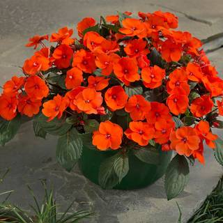 Sunpatiens® Compact Hot Coral (pack of 3)