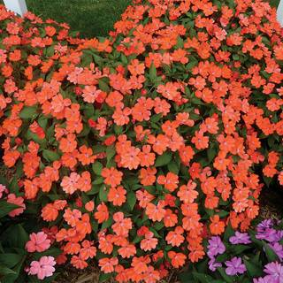 SunPatiens Vigorous Corona Impatiens (pack of 3)