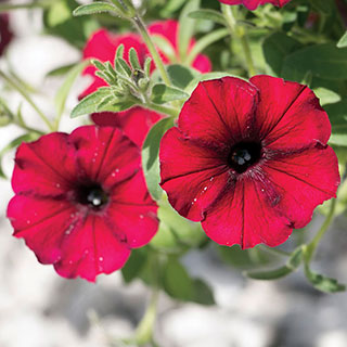 Petunia Supertunia® Black Cherry®