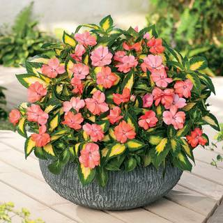 SunPatiens® Vigorous Tropical Salmon (pack of 3)