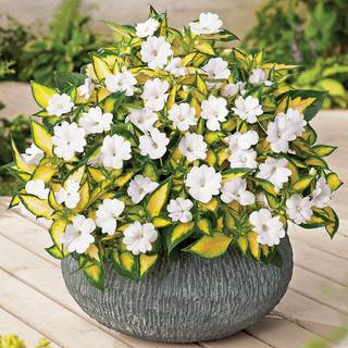 SunPatiens® Vigorous Tropical White (pack of 3)