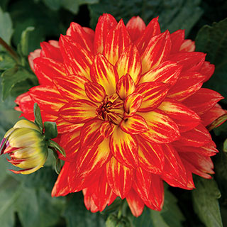XXL Tabasco Dahlia (pack of 3)