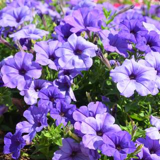 Petunia Evening Scentsation™ Plants