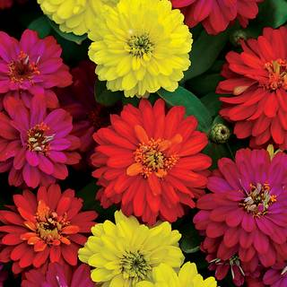 Zinnia Double Zahara™ Mix Plants