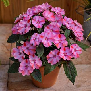 SunPatiens® Compact Pink CandyImage