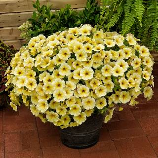 Petunia SuperCal® Light Yellow
