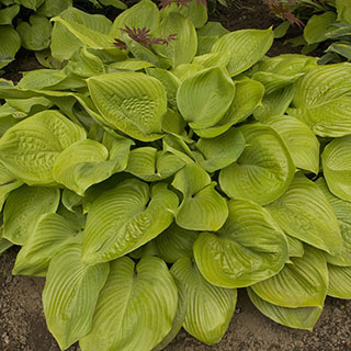 Sum and Substance Hosta Plant