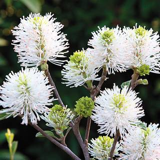 Fothergilla 'Mount Airy' Image