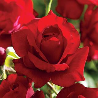Rose Black Cherry Floribunda