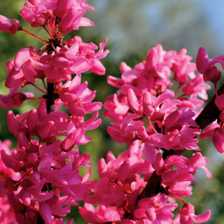Cercis Appalachian Red