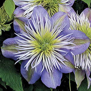 Clematis Regal® Crystal Fountain™