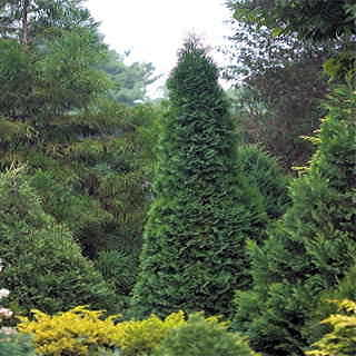 Thuja North Pole®