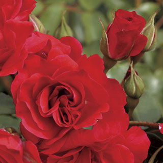 Crush on You Floribunda Rose