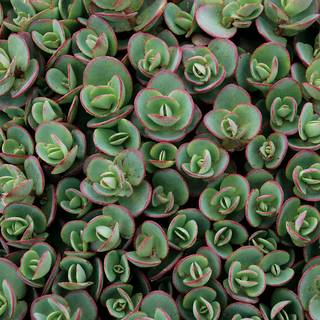 Sedum SunSparkler® Lime Zinger