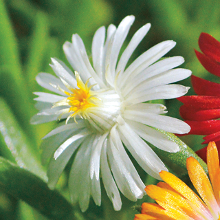 Delosperma Jewel of Desert Moonstone