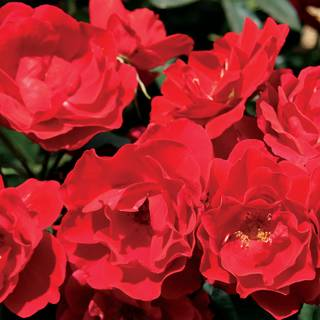 Double Red Simplicity® Hedge RoseImage