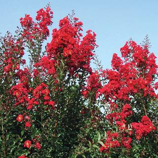 Lagerstroemia Red Rocket®Image