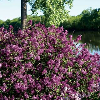 Syringa Bloomerang® Dark Purple