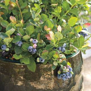 Bushel and Berry™ Peach Sorbet™ BlueberryImage