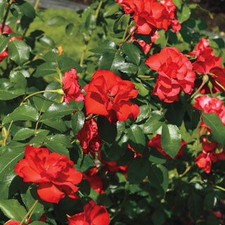 Sevillana® Shrub Rose