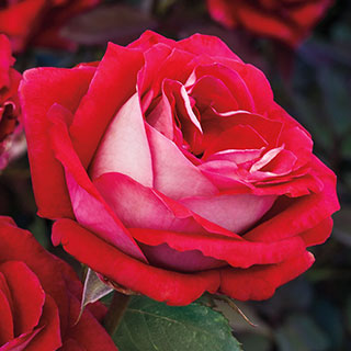 Grateful Heart™ Hybrid Tea Rose