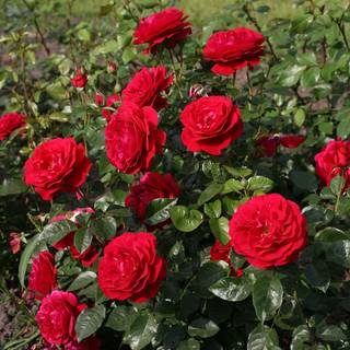 Bordeaux® Citiscape® Floribunda Rose