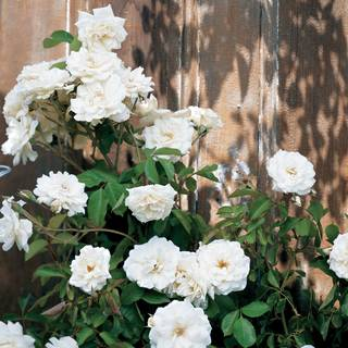 Lace Cascade Climbing Rose