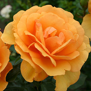 South Africa™ Sunbelt® Grandiflora Rose