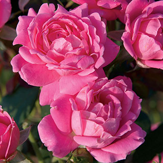 Rosa Pink Double Knock Out®Image