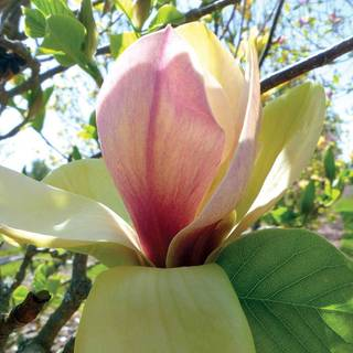 Sunsation Magnolia
