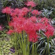 Lycoris Red - Pack of 3