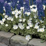 Anemone White Splendor  - Pack of 20