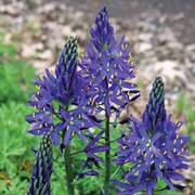 Camassia quamash - Pack of 20